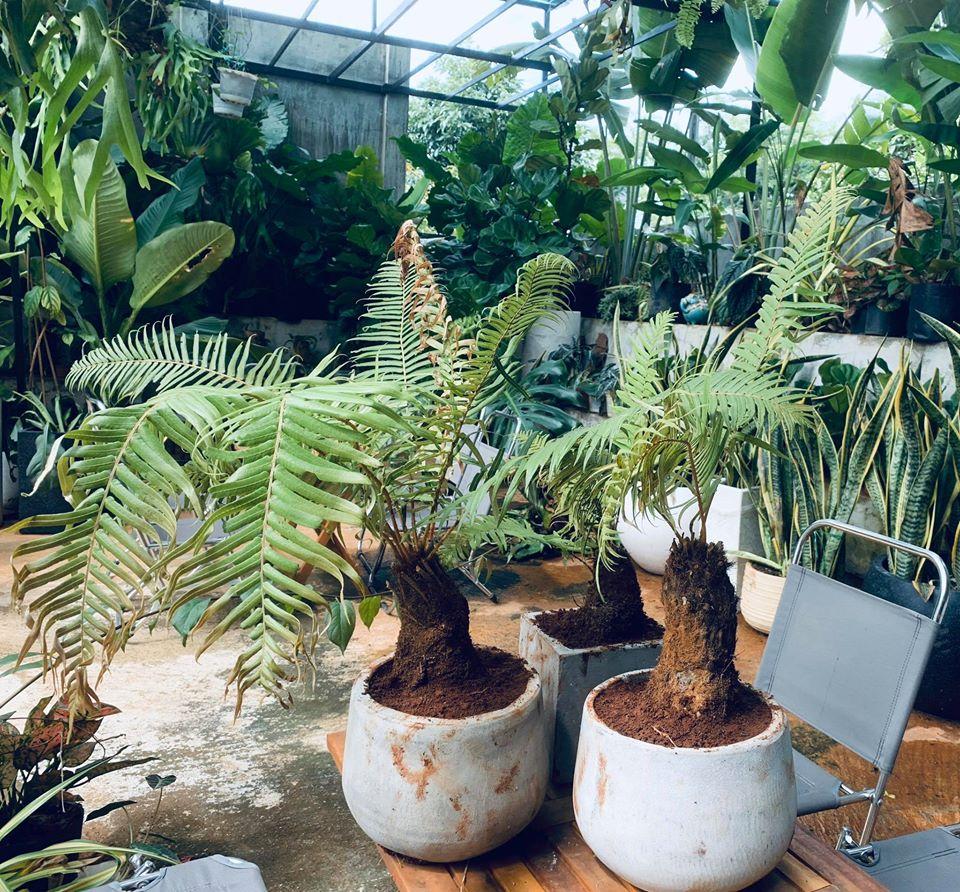 Măng cụt Garden mô hình cà phê kết hợp với cây cảnh